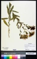 Mentzelia decapetala image