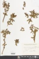 Euphorbia portulacoides image