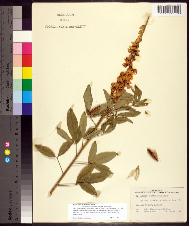 Crotalaria trichotoma image
