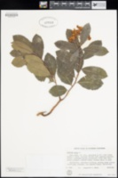 Arbutus unedo image