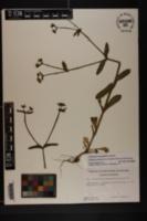 Image of Valerianella chenopodiifolia