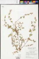 Kummerowia stipulacea image