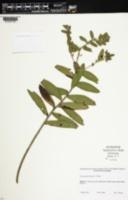 Onosmodium decipiens image