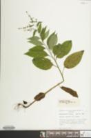 Image of Hackelia virginiana