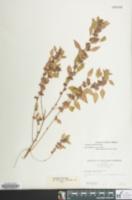 Image of Acalypha rhomboidea