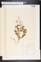 Galium rotundifolium image