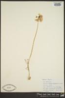 Image of Allium pallasii