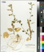 Image of Nicotiana glutinosa