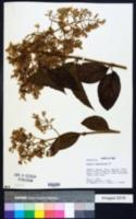 Mikania banisteriae image