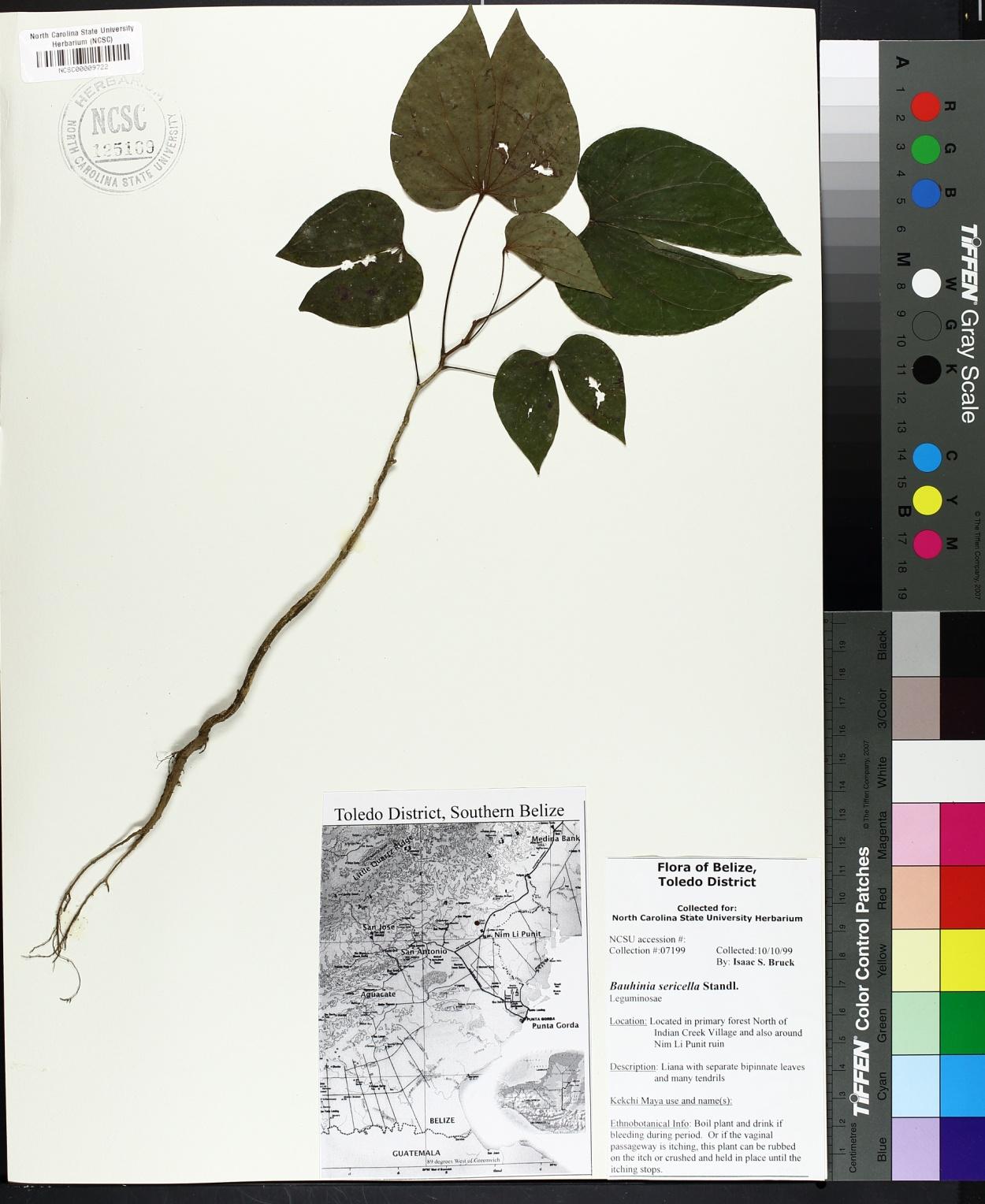 Bauhinia sericella image