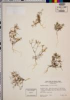 Linanthus jonesii image