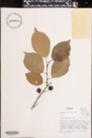 Image of Prunus mexicana