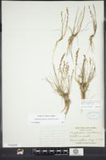 Triglochin gaspensis image