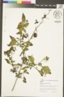 Solanum umbelliferum image