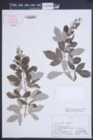 Image of Vitex triflora