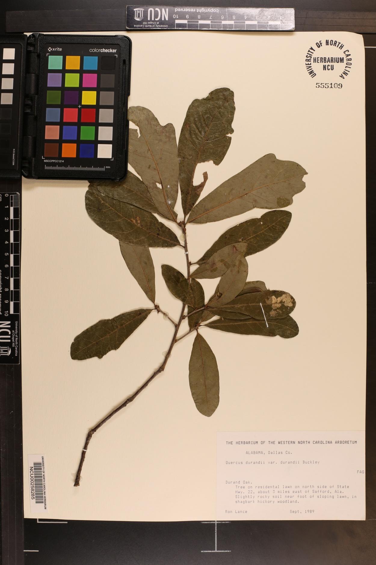 Quercus durandii var. durandii image