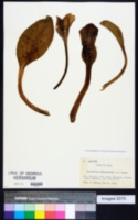 Lysichiton camtschatcensis image