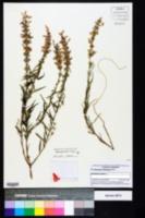 Image of Dicerandra radfordiana