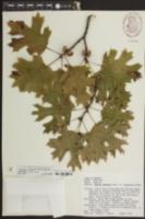 Image of Quercus acerifolia