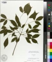 Image of Acer henryi