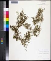 Callitriche stagnalis image