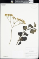 Image of Senecio angulatus