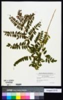 Vicia cassubica image