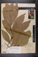 Castanea alabamensis image