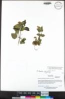 Erythranthe geniculata image