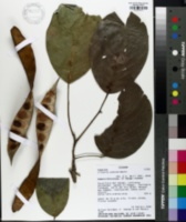 Image of Clitoria arborea
