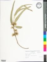 Image of Eucalyptus leucophloia