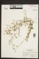 Bonamia patens var. angustifolia image