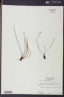Schizaea robusta image
