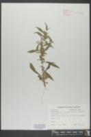 Cuscuta epithymum image