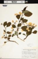 Image of Viburnum tomentosum