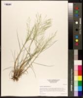 Image of Eragrostis curtipedicellata