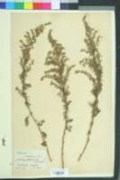 Artemisia maritima image