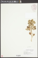 Image of Amaranthus pumilus