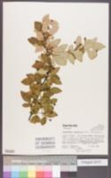 Image of Cotoneaster acutifolius