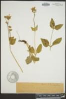 Image of Arnica betonicifolia