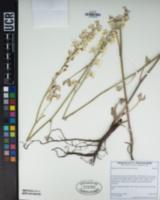 Image of Delphinium hansenii