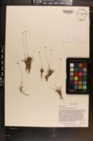Eriocaulon nigrobracteatum image