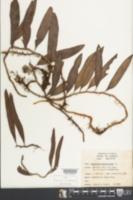 Polypodium lycopodioides image