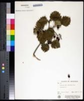 Image of Crataegus leiophylla