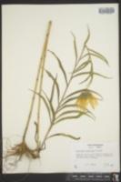 Helianthus maximiliani image