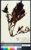 Rumex persicarioides image