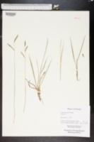 Image of Paspalum nicorae