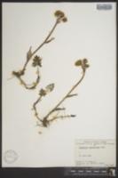 Image of Petasites hyperboreus