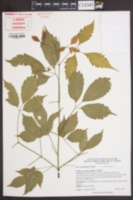 Image of Acer cissifolium