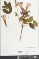 Campsis radicans image